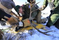 Mule deer buck research. Photo courtesy Wyoming Game & Fish.