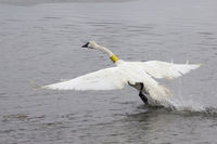 An adult trumpeter swan takes flight after being collared and released near Jackson. Photo by Mark Gocke, Wyoming Game & Fish.